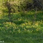 Primula odorosa (146) Primula veris