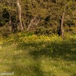 Primula odorosa (148) Primula veris