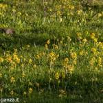 Primula odorosa (149) Primula veris