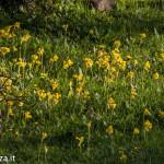 Primula odorosa (150) Primula veris