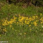 Primula odorosa (153) Primula veris
