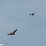 Rapaci (109) volo zampe penzolanti