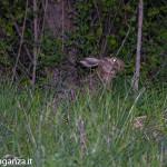 Lepre comune o lepre europea (106)