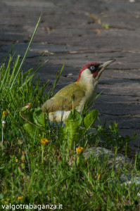 Picchio verde (104) Picus viridis