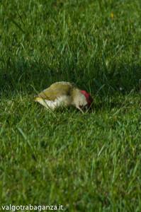 Picchio verde (114) Picus viridis
