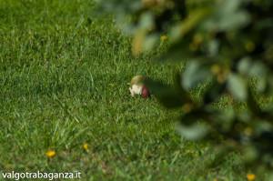 Picchio verde (127) Picus viridis