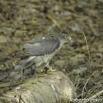 Sparviero (102) Accipiter nisus