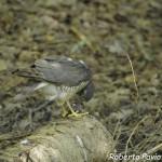 Sparviero (103) Accipiter nisus
