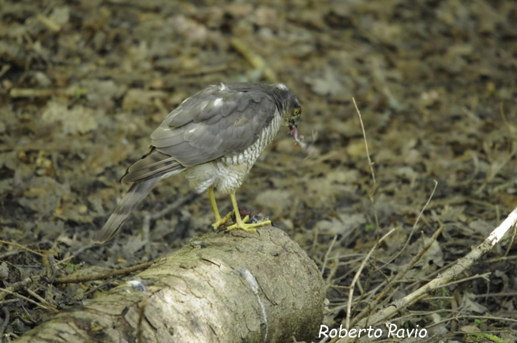 Sparviero (104) Accipiter nisus