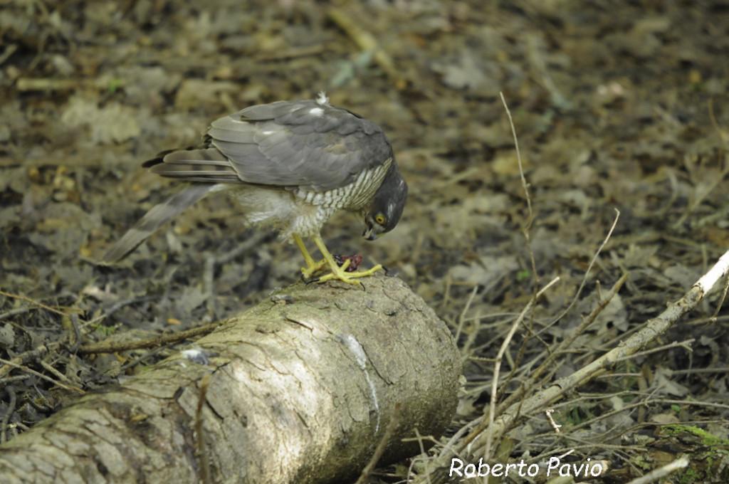Sparviero (105) Accipiter nisus