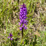 Orchidee (102) ciglio della strada