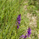 Orchidee (105) ciglio della strada