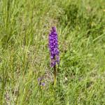 Orchidee (106) ciglio della strada