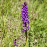 Orchidee (107) ciglio della strada