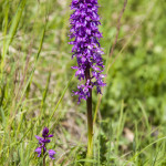 Orchidee (108) ciglio della strada