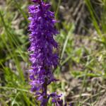 Orchidee (109) ciglio della strada