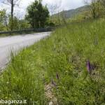 Orchidee (111) ciglio della strada