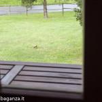 Picchio verde (100) ripreso dalla finestra