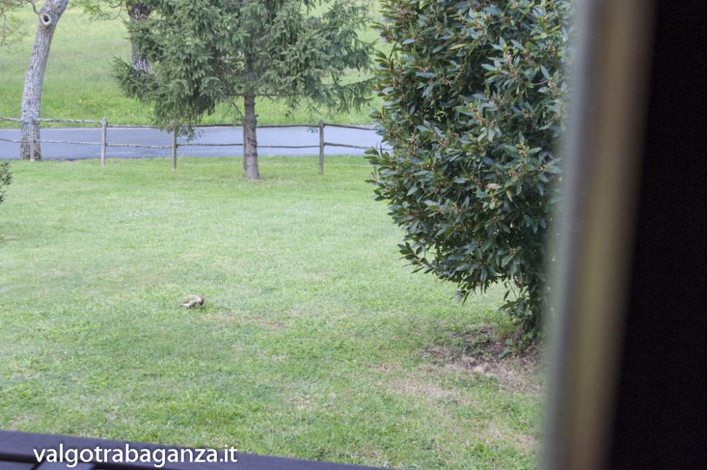 Picchio verde (109) ripreso dalla finestra