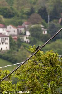 Rondine (112) Hirundo rustica