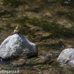 Ballerina gialla (112) Motacilla cinerea
