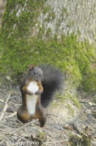 scoiattolo di Roberto Pavio (104)