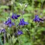 Aquilegia alpina (122) Bedonia