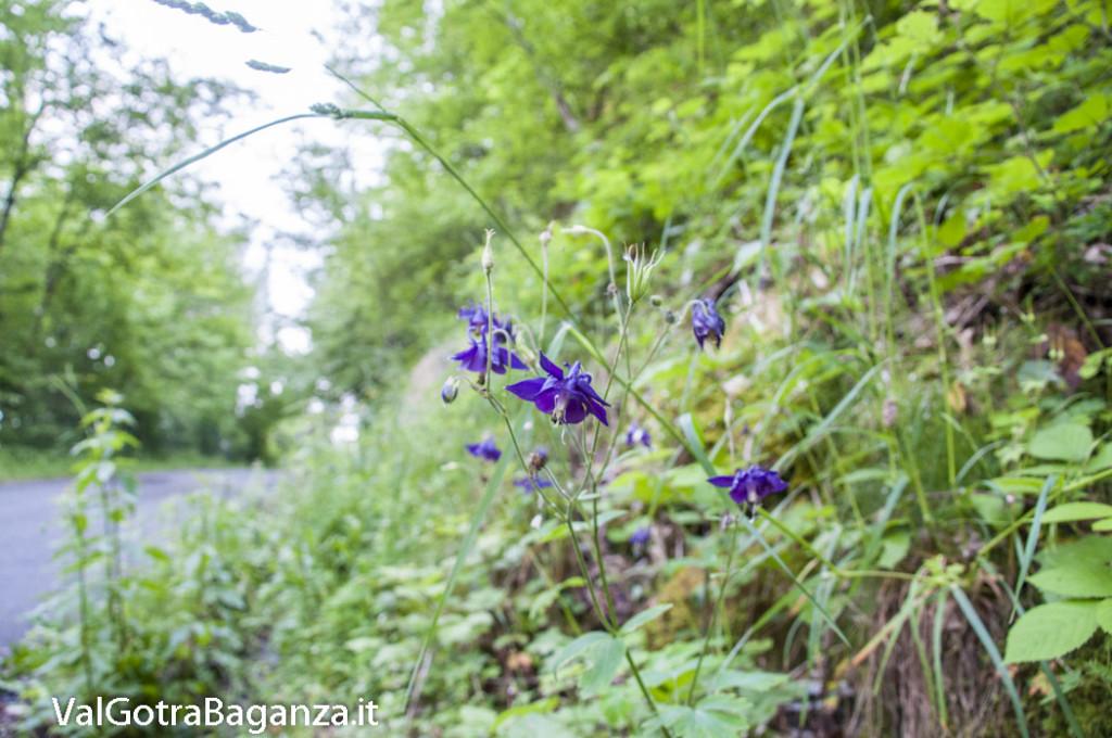 Aquilegia alpina (132) Bedonia