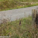Fagiano comune (102) Phasianus colchicus