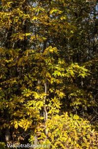 Foliage (110) castagneti
