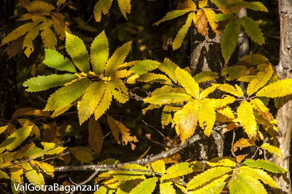 Foliage (111) castagneti