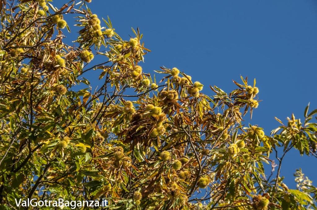 Foliage (114) castagneti