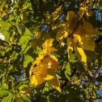 Foliage (120) castagneti