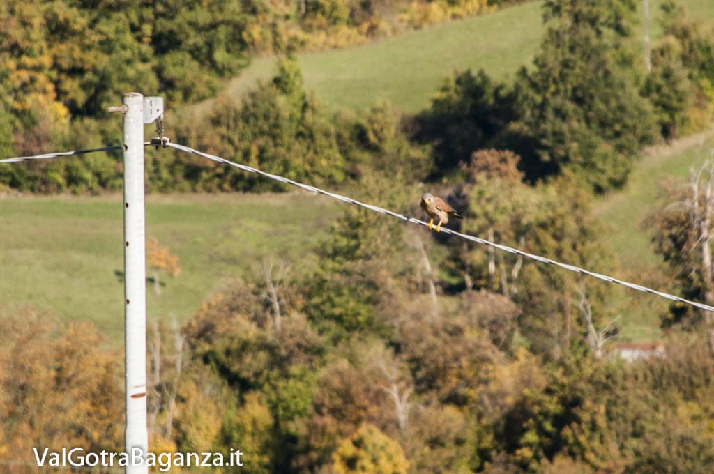 Gheppio comune (103) Falco tinnunculus