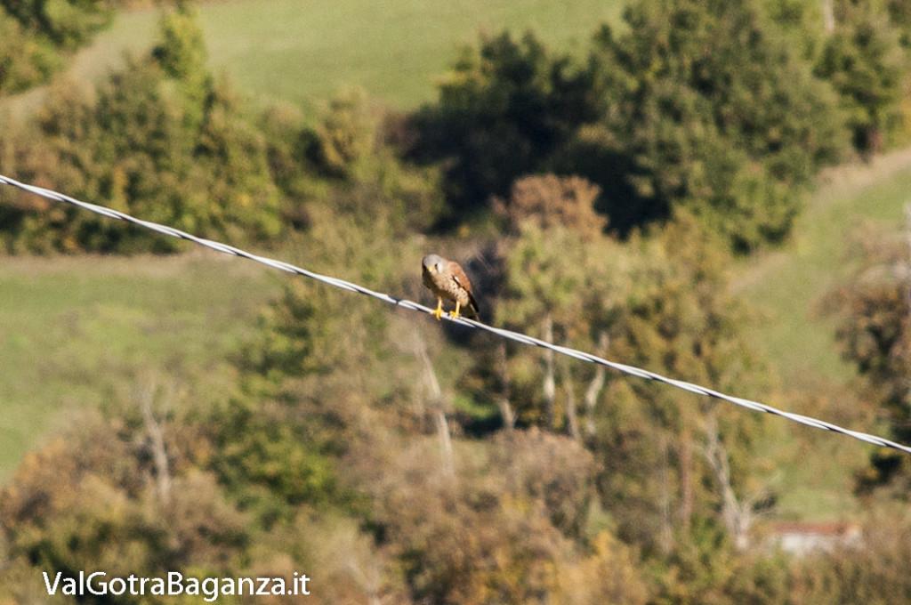 Gheppio comune (105) Falco tinnunculus
