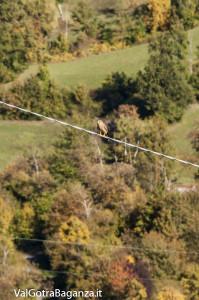 Gheppio comune (106) Falco tinnunculus