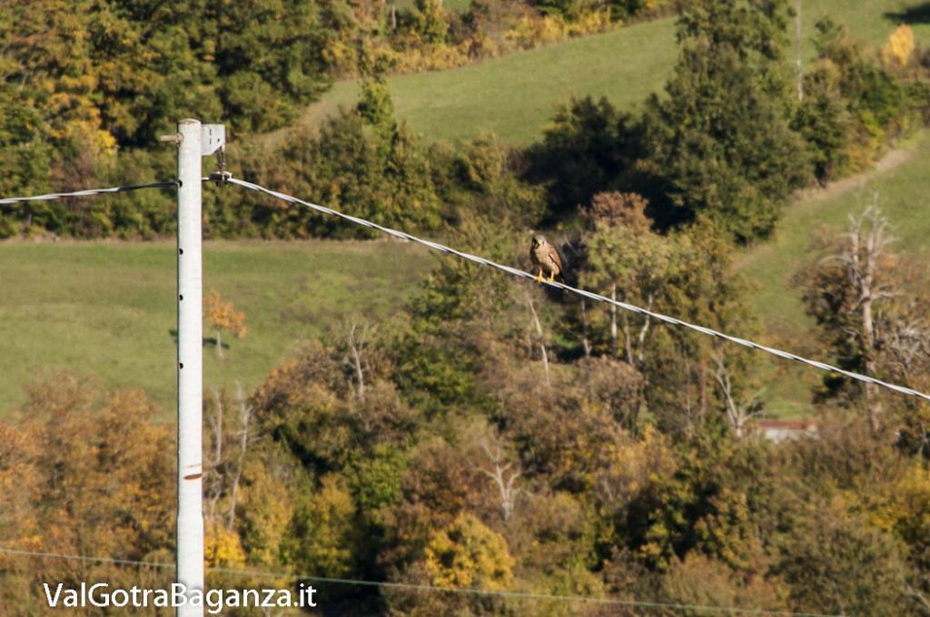 Gheppio comune (110) Falco tinnunculus