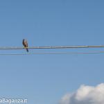 Gheppio comune (113) Falco tinnunculus