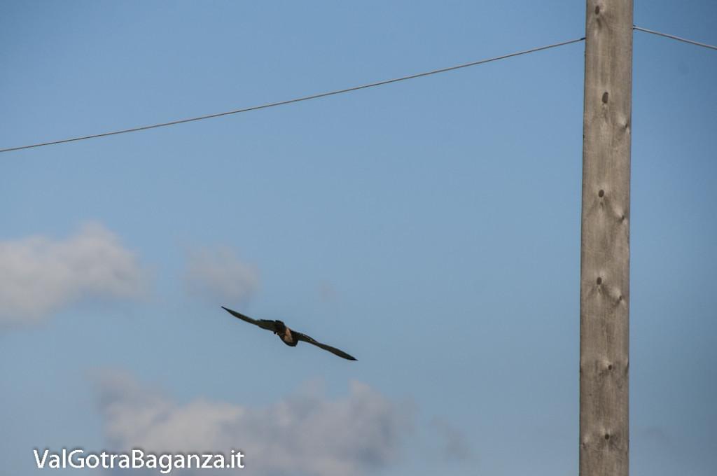 Gheppio comune (114) Falco tinnunculus