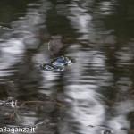 Lago Gorro (119)Rana ibrida dei fossi