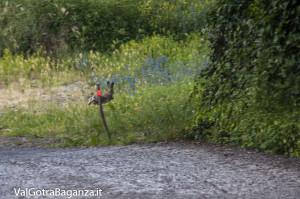 Lepre comune (100) in fuga