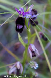 Orchidea di Bertoloni (106)