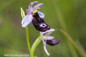 Orchidea di Bertoloni (111)
