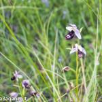 Orchidea di Bertoloni (114)