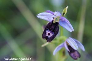 Orchidea di Bertoloni (118)