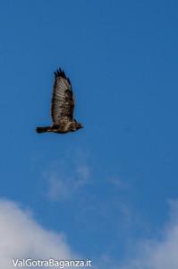 Poiana comune in volo (104) Valtaro