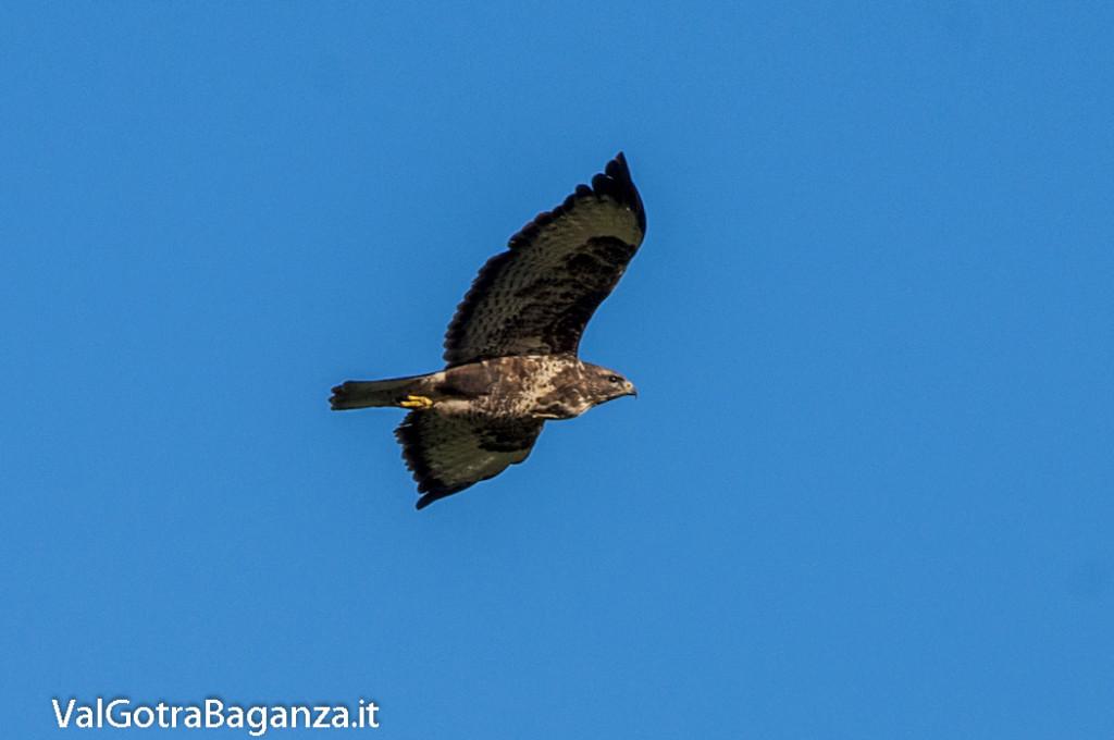 Poiana comune in volo (105) Valtaro