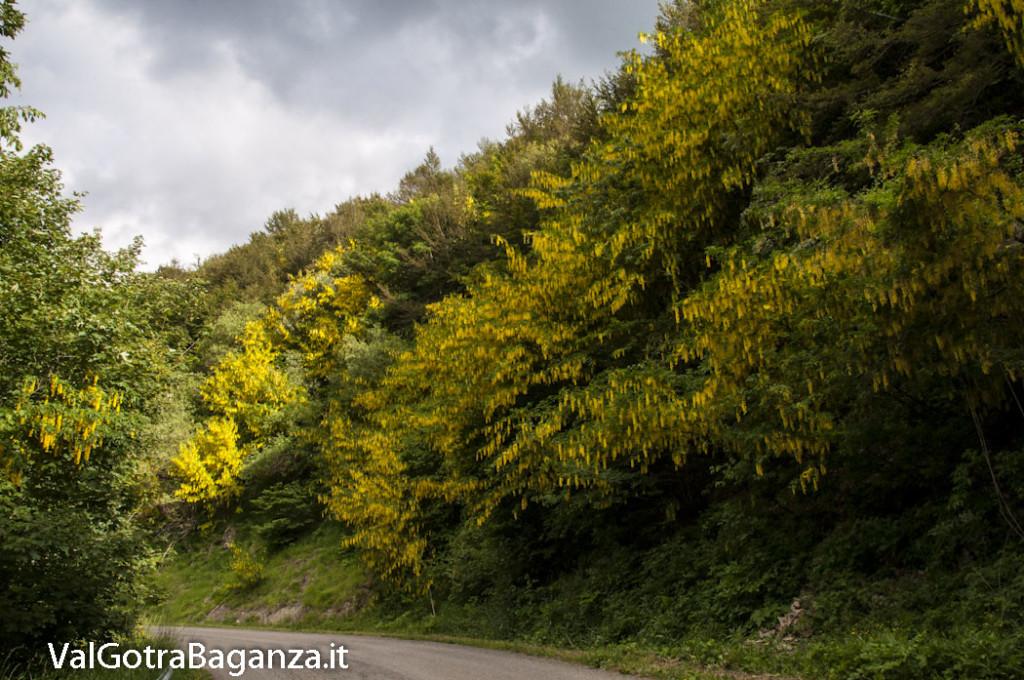 Strada Berceto Bosco Corniglio (132) Maggiociondolo