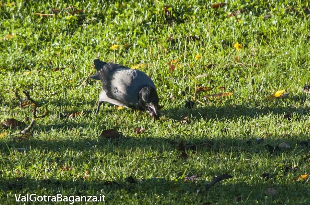 Cornacchia grigia (101) Corvus cornix con noce