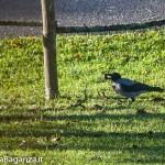 Cornacchia grigia (103) Corvus cornix con noce